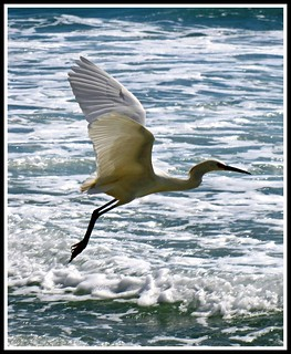 Flying Egret, Wings at the Beach