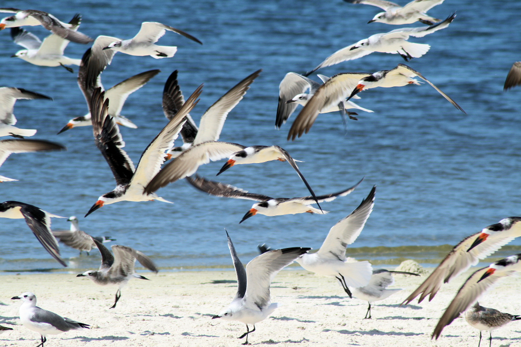 Black Skimmers and Gulls