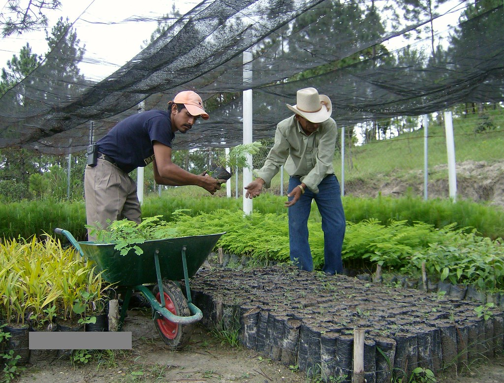 Taking Moringa oliefera plants for planting out
