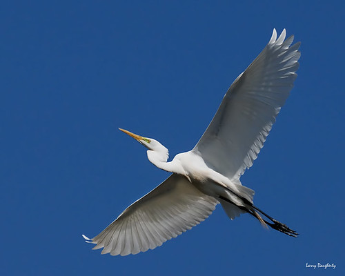 Flight of the Egret...