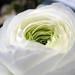 Small photo of White ranunculus