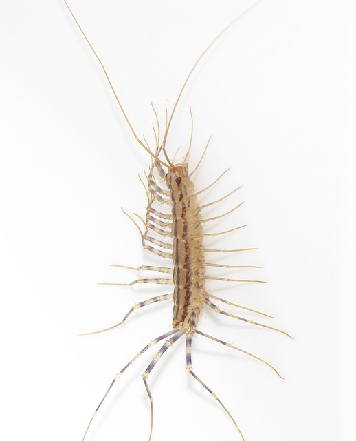 R Centipedes Poisonous House Centipede On Whi...