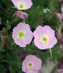 large-flowered evening primrose (0.0), malva(0.0), annual plant(1.0), geranium cinereum(1.0), flower(1.0), pinkladies(1.0), plant(1.0), pink evening primrose(1.0), flora(1.0), petal(1.0),