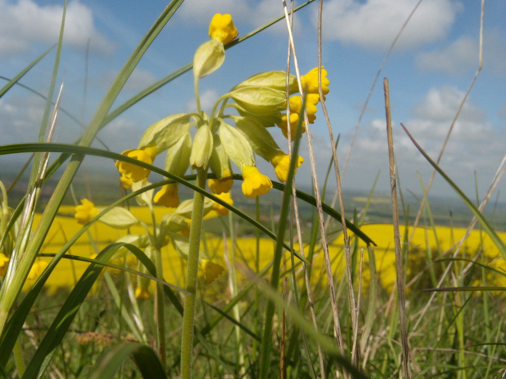 Cowslips Tring to Berkhamsted