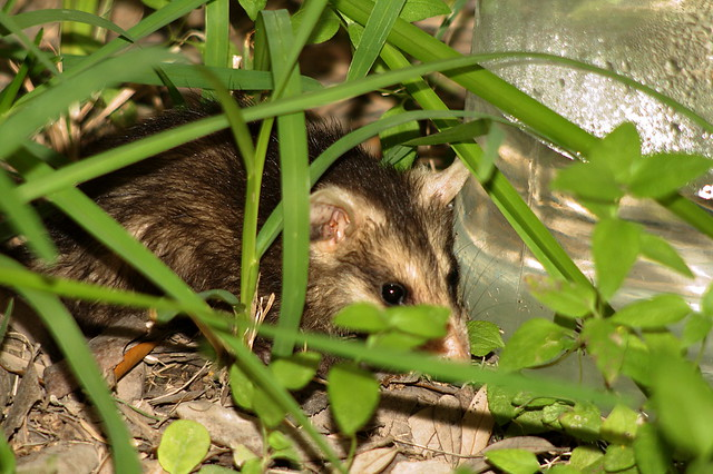 South Texas Possum | Young possums in my backyard - 5/5/09 ...