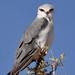 Black-shouldered Kite portrait IMG_5070
