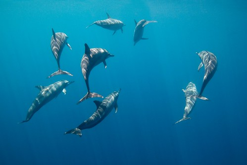 Long Snouted Spinner Dolphins - Tañon Strait, Philippines