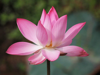 Lotus - Indian Flower