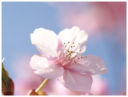 Cherry blossoms 090305 #07 - 無料写真検索fotoq