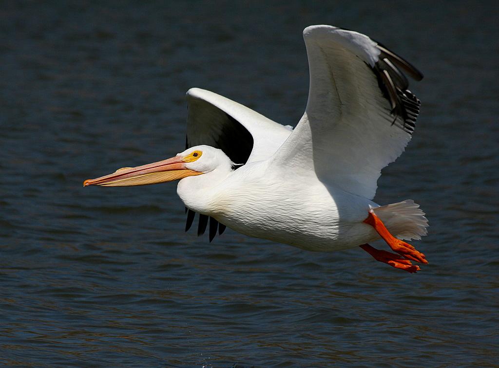 Pel cano blanco aves de xochicalco morelos naturalista - Fotos de pelicanos ...