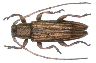 Orcesis multipunctata (Pic, 1927)  female
