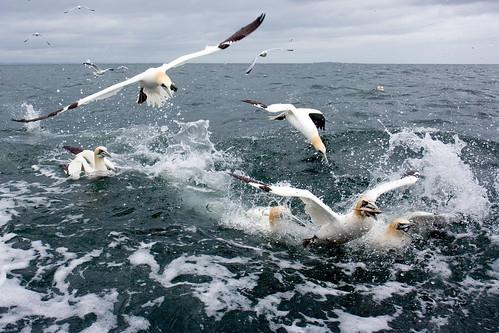 Gannet Feeding Time