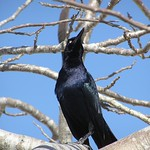 Quiscalus mexicanus - Great-tailed Grackle - Quiscale à longue queue (♂) - Fev 05