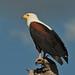 Fish Eagle perched on a snag 0R7E1830