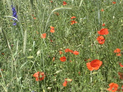 annual plant, flower, field, grass, plant, herb, wildflower, flora, coquelicot, meadow, poppy,