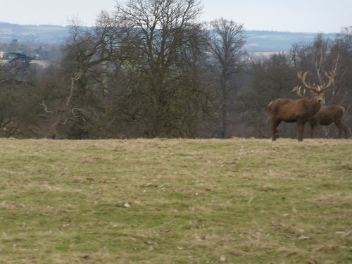 Deer with view, Woburn Park