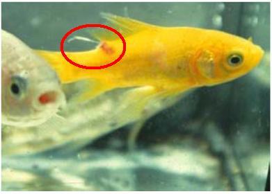 Pin los peces comunes y raros on pinterest for Enfermedades de peces goldfish