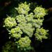 woollyfruit desertparsley - Photo (c) James Gaither, some rights reserved (CC BY-NC-ND)
