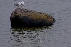 stoned sea gulls