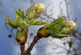 Sweetgum bud, opened, showing both new leaves and flowers