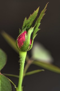 The Pink Young Rose