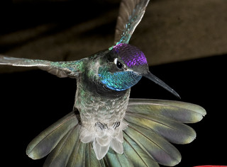 male_magnificent_hummingbird2