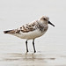 Sanderling - Photo (c) Steve Berardi, some rights reserved (CC BY-SA)