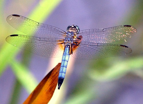 Dragonflies of May_2