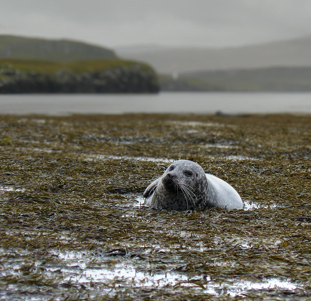 Seal relaxing in seaweed bed on Skye