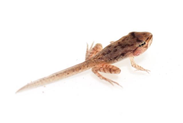 Wood frog tadpole