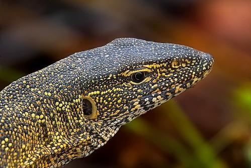 Varanus Niloticus The Reptile Database