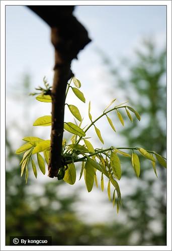 图:龙爪槐