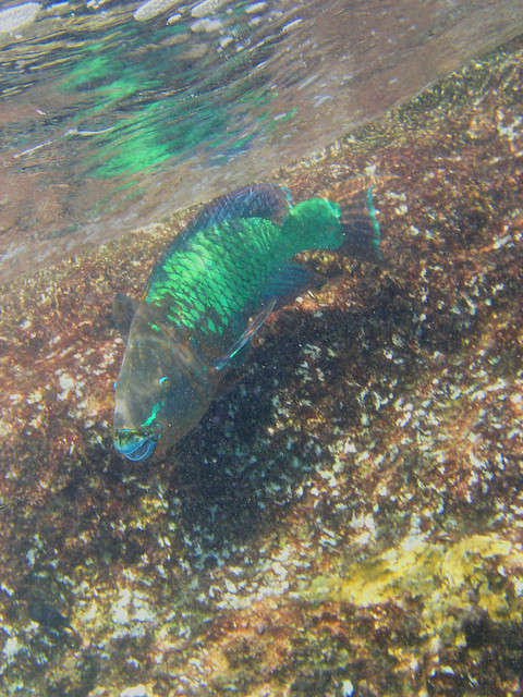 Photo for Rainbow parrot fish
