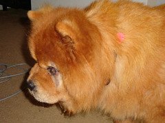 dog breed, nose, animal, german spitz klein, chow chow, dog, pet, german spitz, mammal,