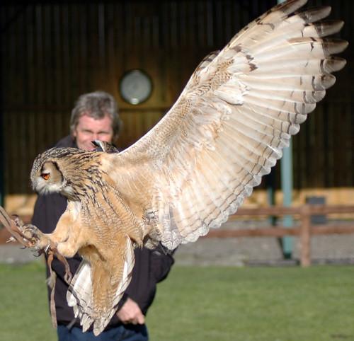 Bengal Eagle Owl landing