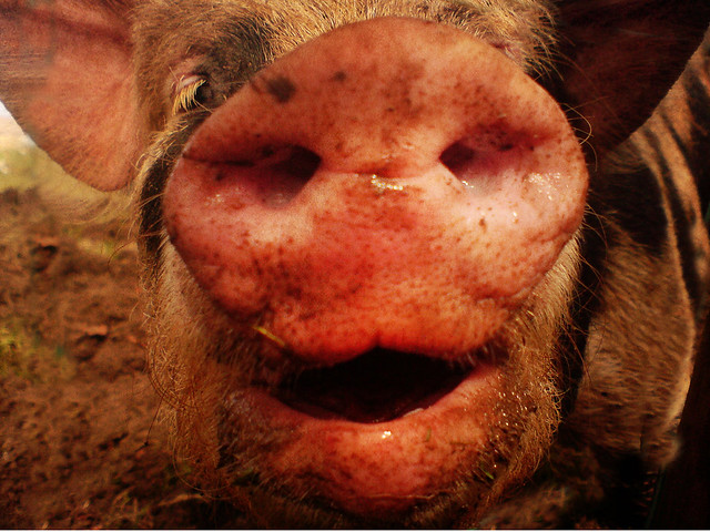 One Charmin Pig