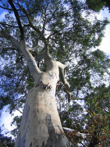 Eucalyptus camaldulensis (River Red Gum)