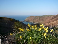 Jersey North Coast Daffodils