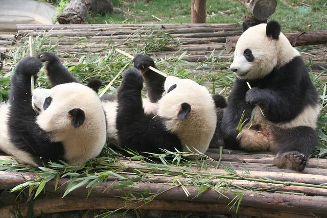 Giant Pandas, Chengdu, Sichuan