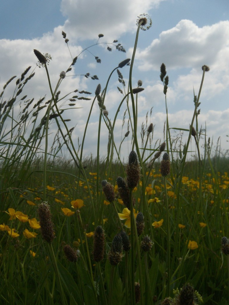 Plantains and grass Cholsey to Goring