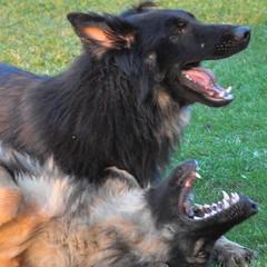 vulnerable native breeds(0.0), dog breed(1.0), german shepherd dog(1.0), animal(1.0), dog(1.0), pet(1.0), old german shepherd dog(1.0), carnivoran(1.0),