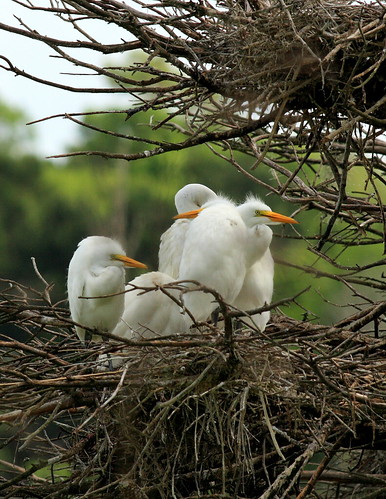 great egret chicks woody nest
