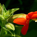 Scarlet Monkeyflower - Photo (c) James Gaither, some rights reserved (CC BY-NC-ND)