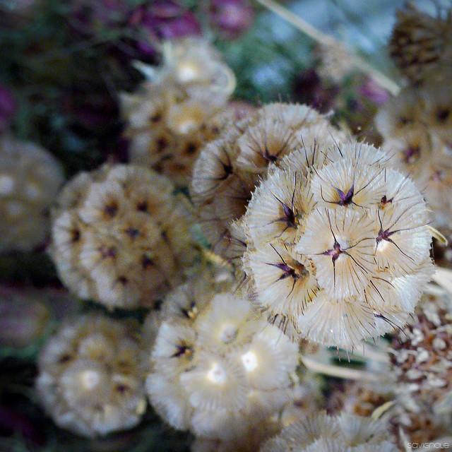 fleurs s ch es de bayet 9 flickr photo sharing. Black Bedroom Furniture Sets. Home Design Ideas