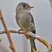 Tropical Pewee - Photo (c) Jerry Oldenettel, some rights reserved (CC BY-NC-SA)