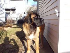 moscow watchdog(0.0), caucasian shepherd dog(0.0), st. bernard(0.0), dog breed(1.0), animal(1.0), dog(1.0), leonberger(1.0), pet(1.0), carnivoran(1.0),