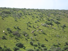 Tule Elk in a Field