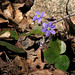 Round-lobed Hepatica - Photo (c) Per Verdonk, some rights reserved (CC BY-NC)