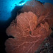 diver and gigantic seafan by klee@underwater