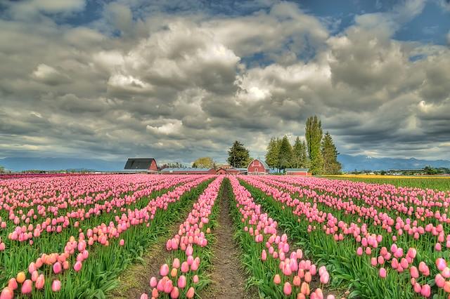 ▀ زهور التوليب Tulip Flowers صور ومعلومات ▀ 3514739954_bfbab455b8_z.jpg?zz=1